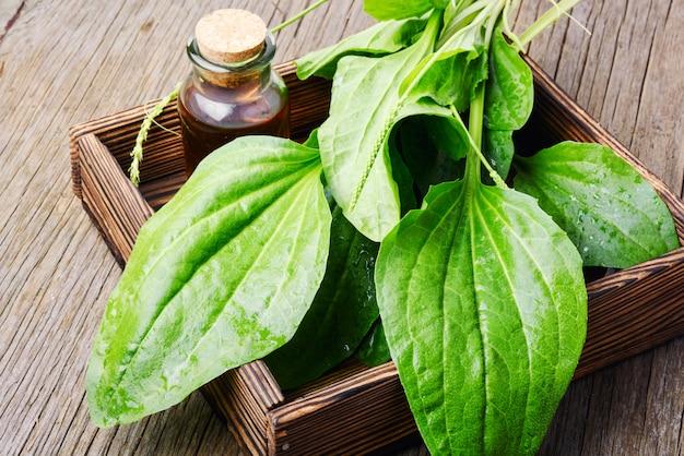 Plantain vert plantago
