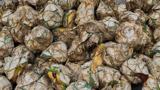 Plantation d'agave bleu sur le terrain pour faire de l'industrie de la tequila concept tequila