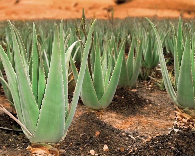 Plantation d'aloe vera