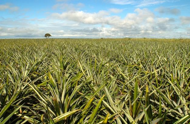Plantation d'ananas à santa rita, paraiba, brésil. l'agriculture brésilienne.