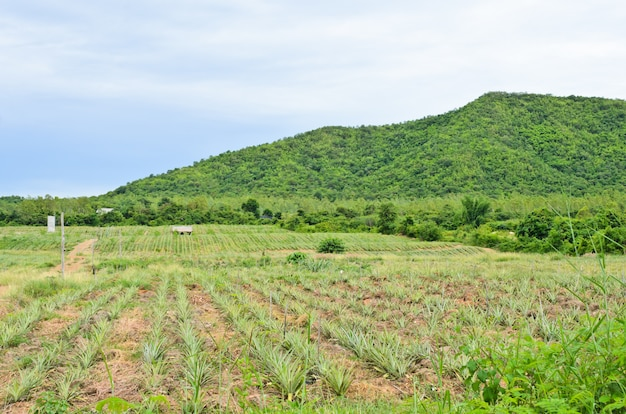 Plantation d'ananas en terrain accidenté, thaïlande