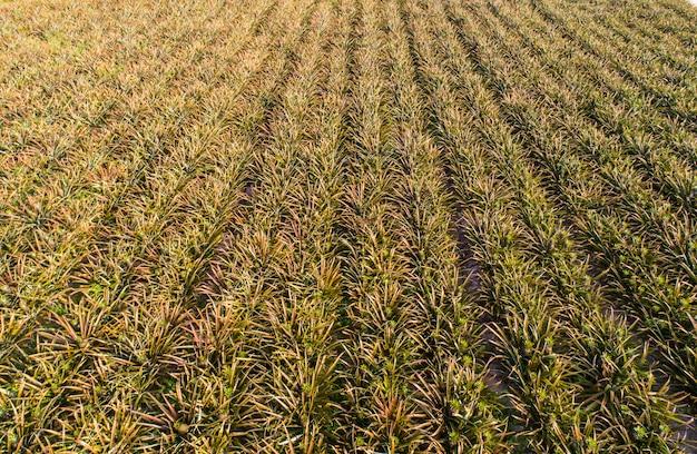 Plantation d'ananas vue de dessus aérienne
