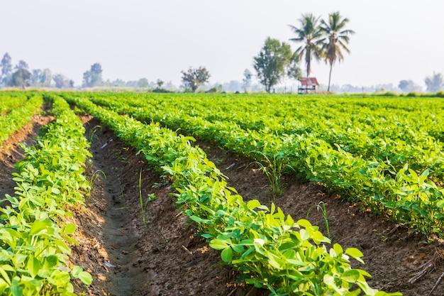 Plantation d'arachides dans les zones rurales de la thaïlande.
