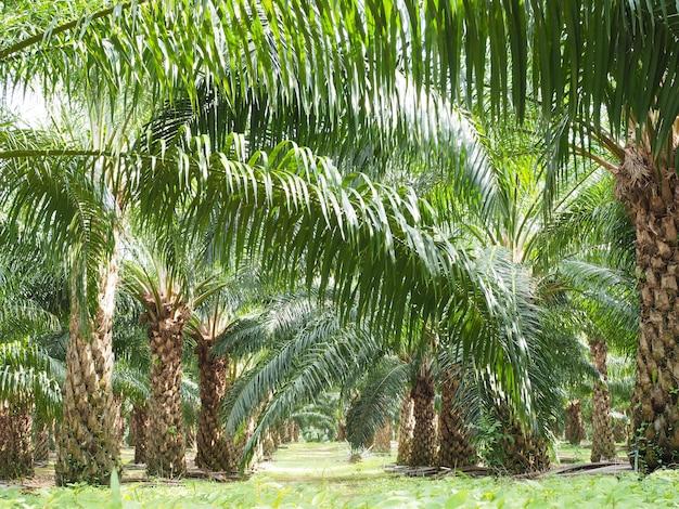 Plantation d'arbre de l'huile de palme dans la ferme