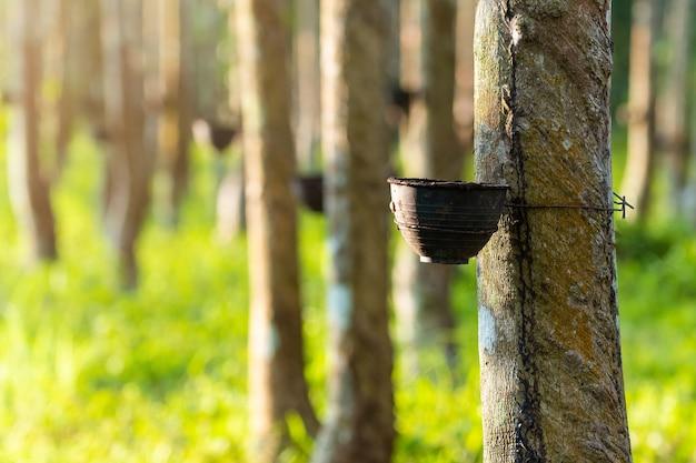 Plantation d'arbres à caoutchouc agricole