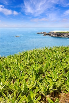 Plantation de bananes près de l'océan à la palma