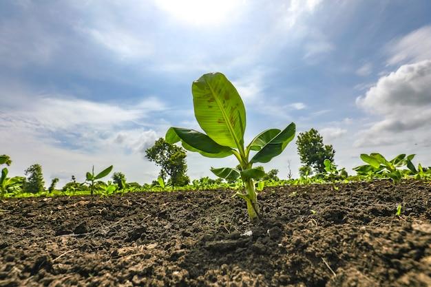 Plantation de bananiers avec ciel bleu
