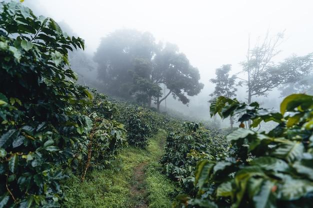 Plantation de café dans la forêt brumeuse, usine de café et grains de café crus