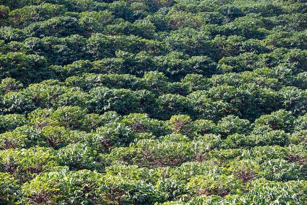 Plantation de café vert