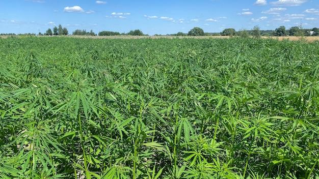 Plantation De Cannabis Pour Une Ferme Extérieure Médicale Et Sativa Photo Premium