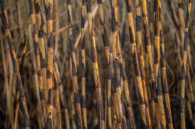 Plantation de canne à sucre brûlée