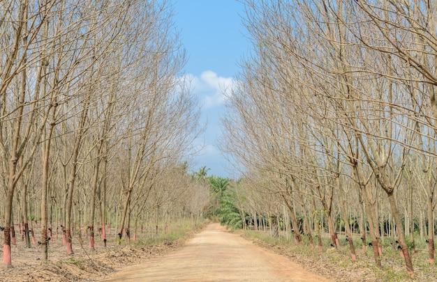 Plantation de caoutchouc en automne