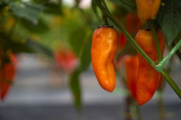 Plantation de chili dans des serres modernes