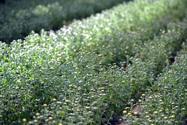 Plantation de chrysanthèmes