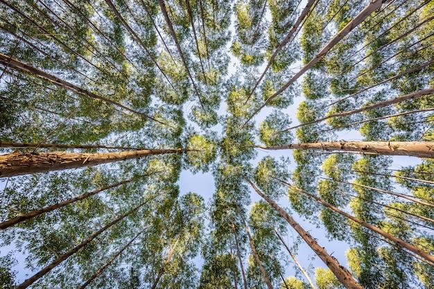 Plantation d'eucalyptus pour l'industrie du bois dans la campagne brésilienne.