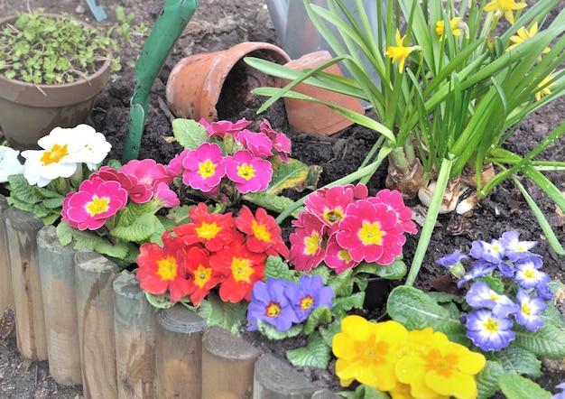Plantation de fleurs printanières colorées en parterre de fleurs