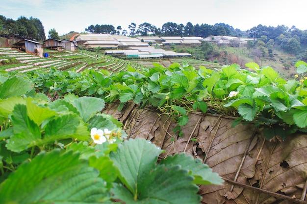 Plantation de fraises au mont doi angkhang, chiang mai, thaïlande
