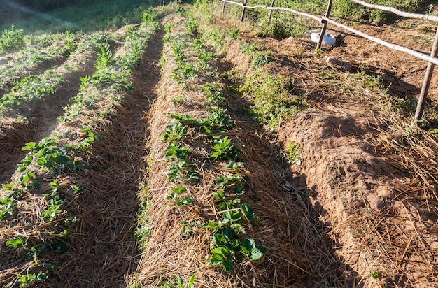 Plantation de fraises avec les torches légères.