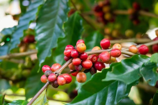 Plantation de grains de café