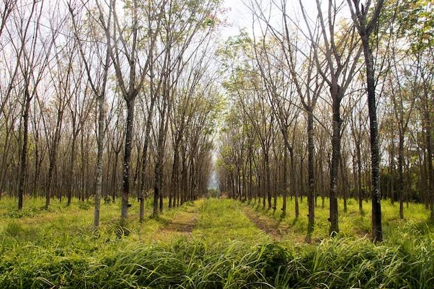 Plantation d'hévéa après récolte dans le sud de la thaïlande mise au point sélective
