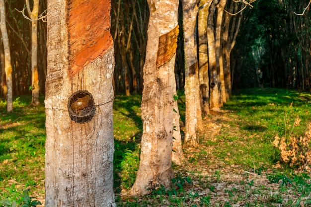 Plantation d'hévéa ou caoutchouc d'arbres dans le sud de la thaïlande