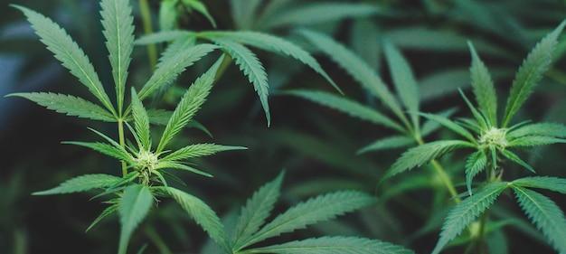 Plantation en intérieur de marijuana de type amnesia haze à usage médicinal et récréatif