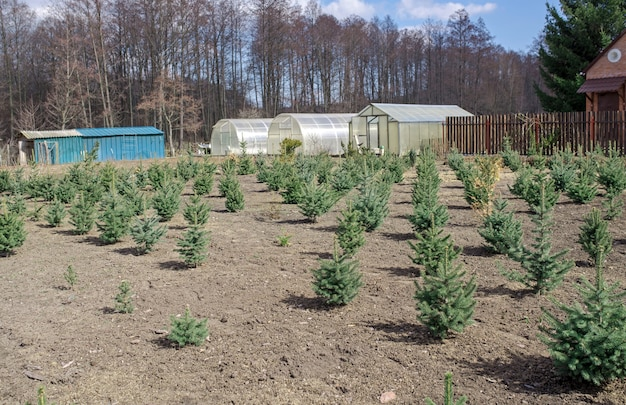 Plantation de jeunes sapins verts de noël, de sapin nordmann et d'une autre culture de sapins, prêts à la vente pour les fêtes de noël et du nouvel an