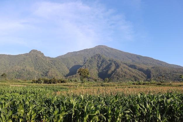Plantation de maïs contre les montagnes
