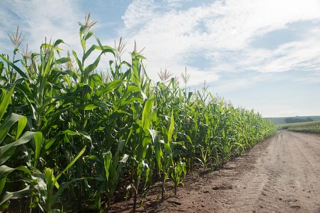 Plantation de maïs un matin ensoleillé