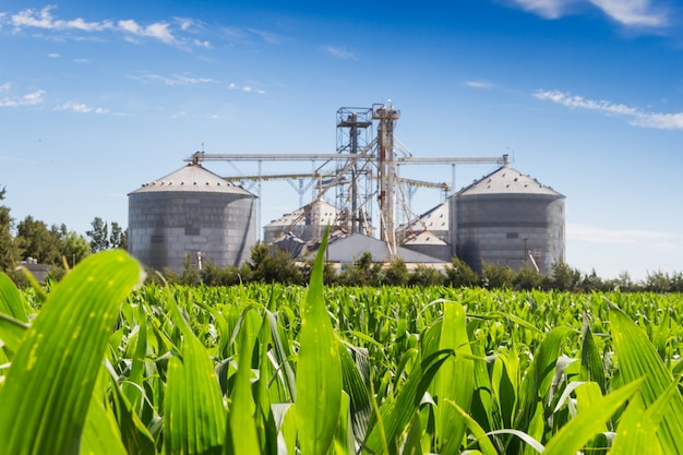 Plantation de maïs et silos défocalisés en arrière-plan