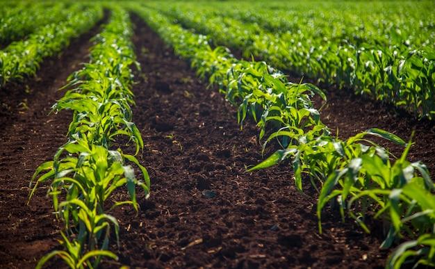 Plantation de maïs