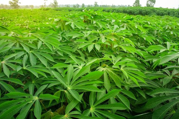 Plantation de manioc au nord-est de la thaïlande