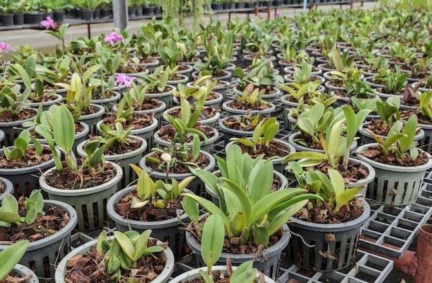 Plantation d'orchidées cattleya