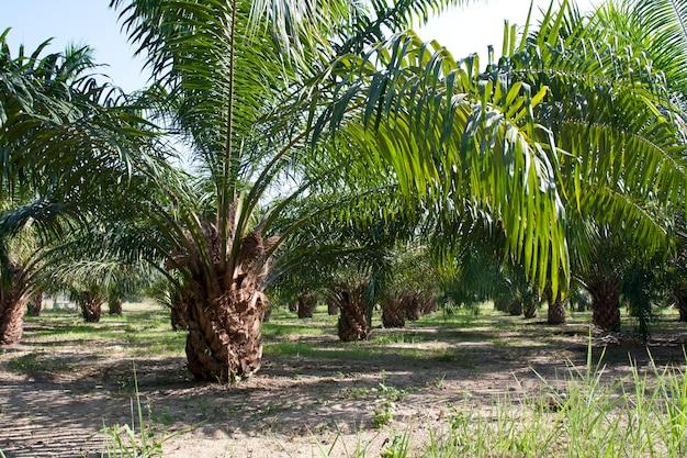 Plantation de palmiers à huile