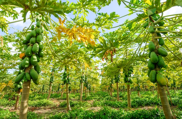 Plantation de papayers à conde paraiba brésil agroalimentaire brésilien