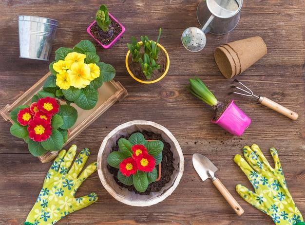 Plantation de primevère primula vulgaris, jacinthe violette, jonquilles en pot, outils, concept de carte postale de jardinage de printemps