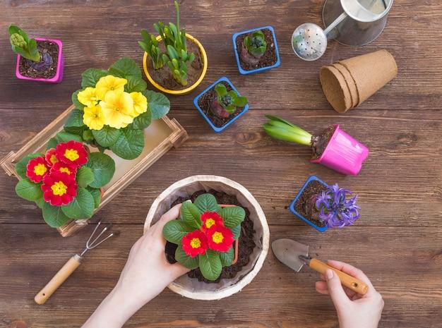 Plantation de primevère primula vulgaris, jacinthe violette, jonquilles en pot, outils, mains de femme, concept de jardinage de printemps