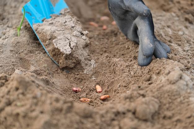 Plantation printanière de graines de légumineuses