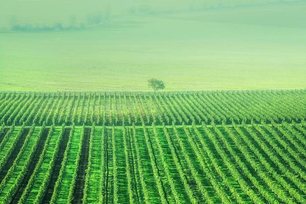 Plantation de raisins sunshine