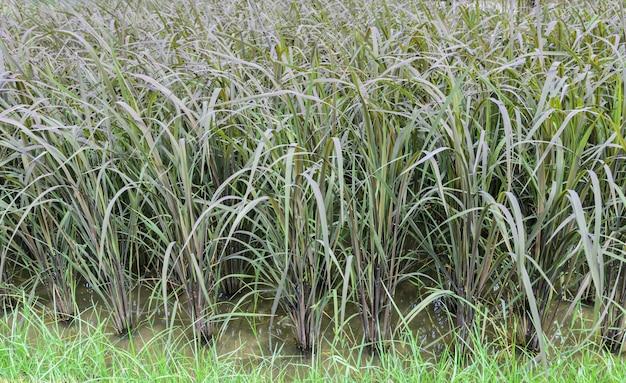 Plantation de riz gluant noir en thaïlande