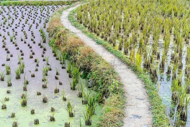 Plantation de riz