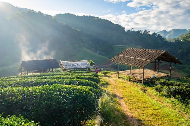 Plantation de thé au pavillon au toit de chaume le matin