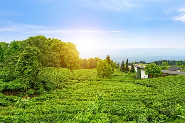 Plantation de thé au sommet de la montagne