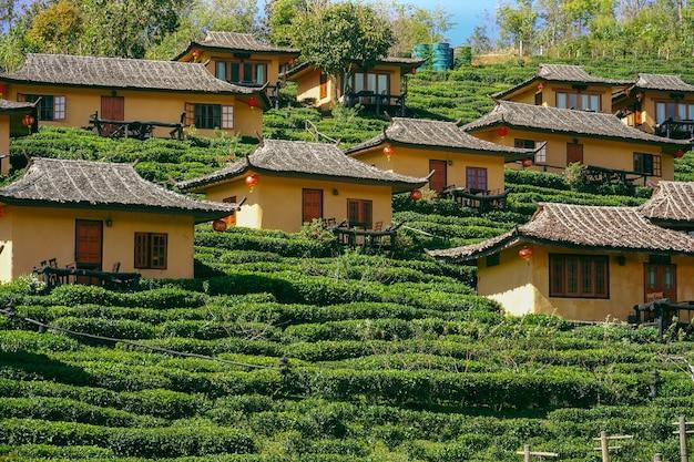 Plantation de thé baan rak thai en thaïlande