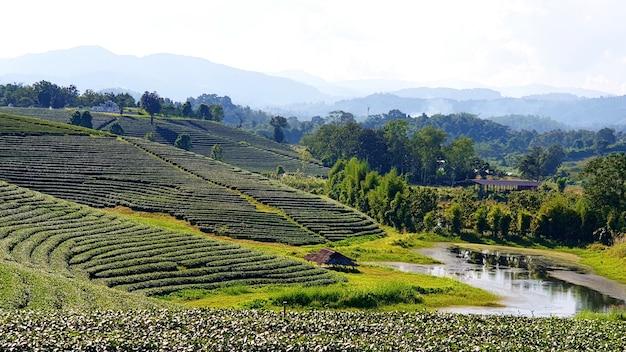 Plantation de thé choui fong, la plus belle plantation de thé de thaïlande