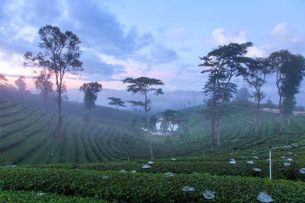 Plantation de thé sur les collines à la campagne.