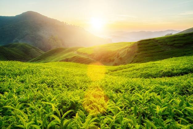 Plantation de thé dans les hautes terres de cameron, malaisie