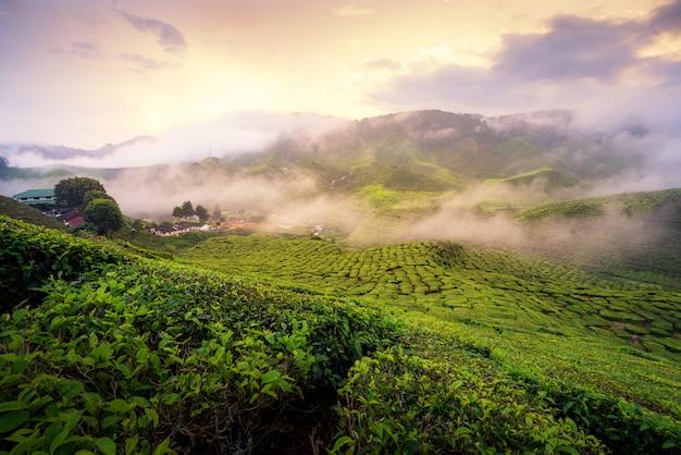 Plantation de thé dans les montagnes pendant le lever du soleil à cameron highlands, malaisie avec une dure lumière du matin.