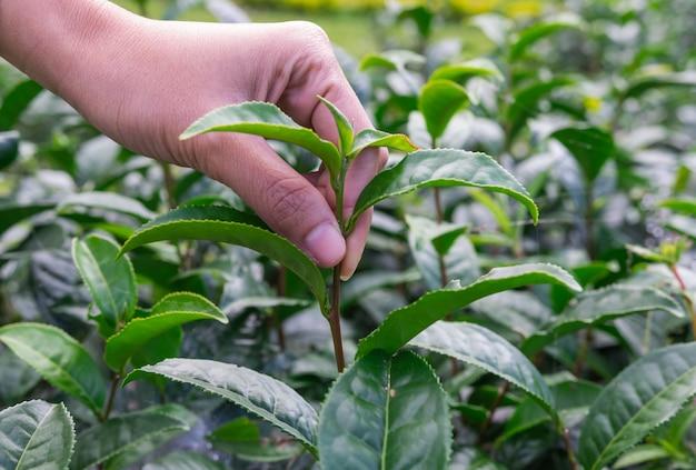 Plantation de thé doux