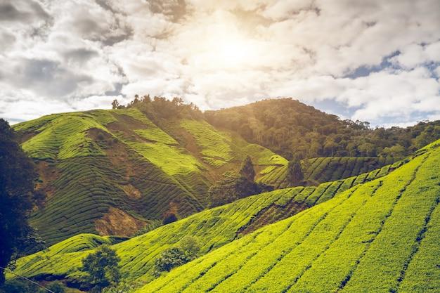 Plantation de thé en malaisie